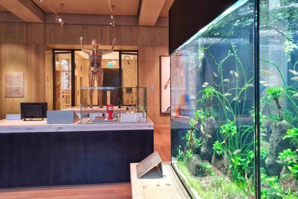 """Ein Aquarium in der Ausstellung """"Being Human"""" mit Zebrafischen. Der Mensch hat nicht nur zu 70% die gleichen Gene wie diese Fische, die Tiere werden auch häufig in der medizinischen Forschung genutzt"""